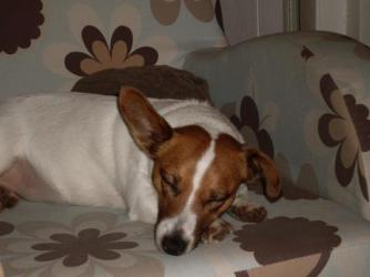 Penny ~  Even when she sleeps our faithful hound likes to keep one ear open for trouble.