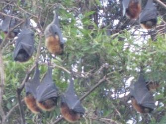 Flying Foxes of Sydney ~   The Sydney Botanical Gardens is a great home to these bat-like foxes.