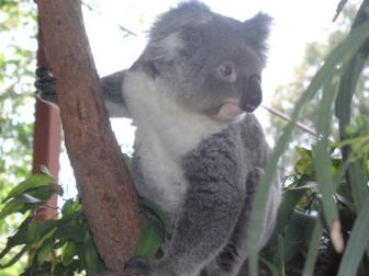 Koala ~   The Koala is just one of the many fantastic animals of Australia.  ...Isn't he cute!
