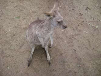 Australian Animals ~   There's not a shortage of Kangaroos in Australia.  They're cute like little doggies!