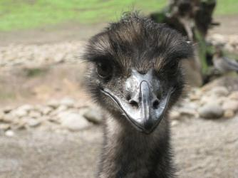 Emu ~   This is really a big bird!