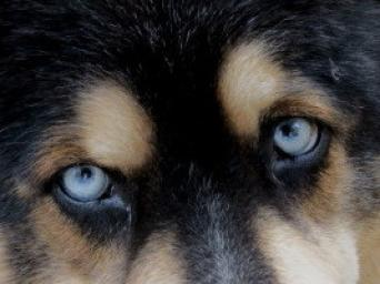 "My beautiful Bear's blue-eyes are always my favorite subject. ~  When we first got Bear he was a bundle of fur with his bright blue eyes.  My Mom was living with us and I said, ""Mom, what should we name him?""