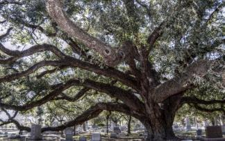 Oak in Cemetary ~ Memories of a Mississippi Summer
