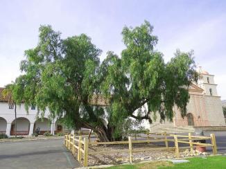Untitled ~  California Pepper Tree, Santa Barbara Mission