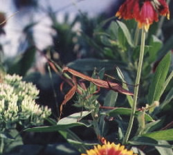 Praying Mantis in my garden.
