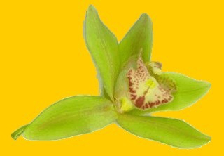 This is a real orchid put into a scanner.