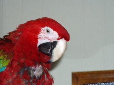 My greenwing macaw