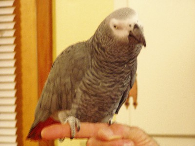 pic of my parrot
