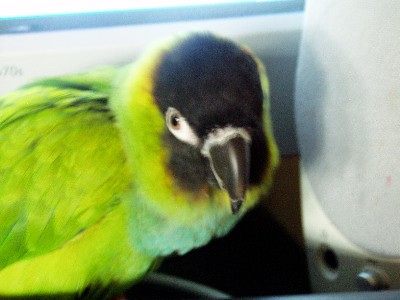 a pic of my nanday parrot
