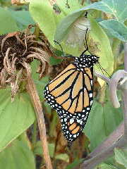 A find in the garden this morning. A new Monarch just coming out of the cocoon.