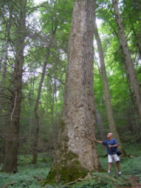 Great Smoky Mountains, old growth forest