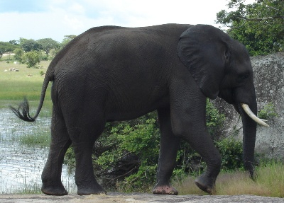 Imire Elephant By Rock
