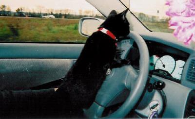 A kitten drives a car