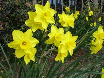 Daffodils from Mandy.