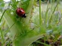The ladybug on a bush.