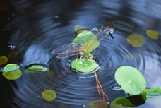 A dragonfly precariously on a lilypad.