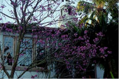 This is a photograph of a Jacaranda:   profound declaration of Spring.