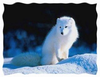 white wolf sig