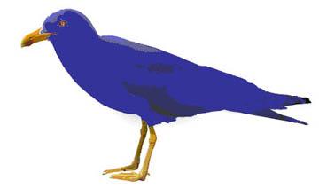 Small Blue Gull