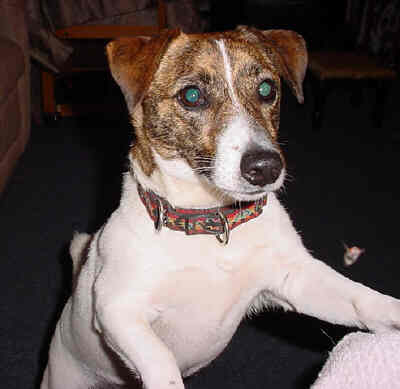 Picture of Wheezer, a Jack Russell who is in my book, Wheezer And The Painted Frog.