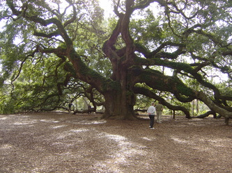 Angel Oak tree on Johns Island, SC, with permission from AngelOak.com