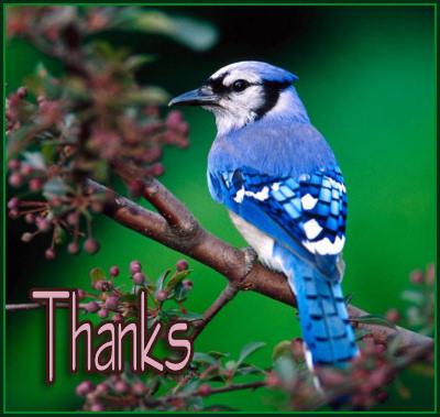 A colorful Blue Bird 'Thank You'