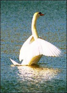 I'm using this swan image for one of my stories.