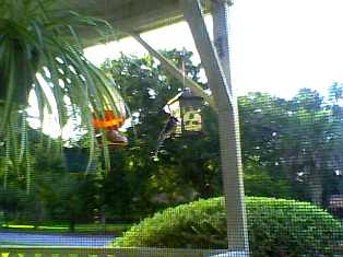 the view from my computer, look closely & you can see the bluejay