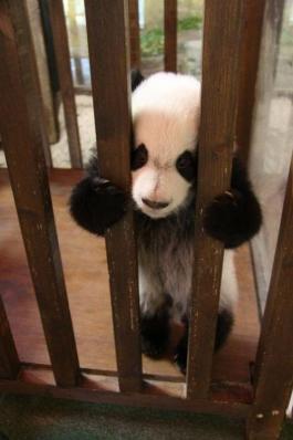 Panda in Jail