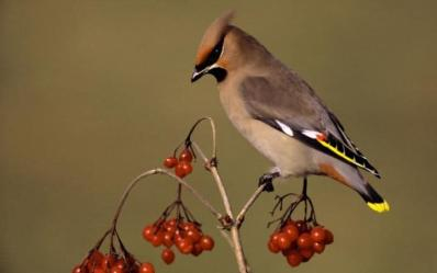 Waxwing photo for Winter Birds Raffle