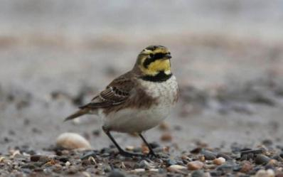 Shorelark for the Winter Birds Raffle
