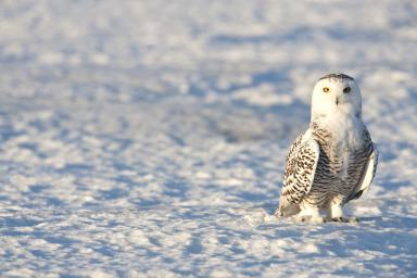 Winter Birds Raffle Snow Owl Pick