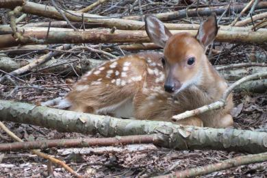 Baby Fawn 1