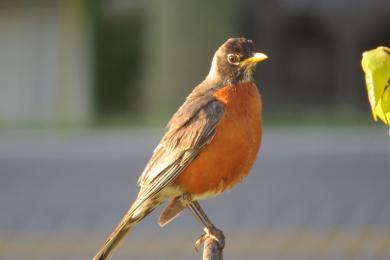 Robin taking  in the sun