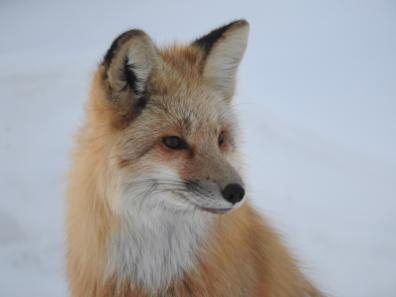 Fox in our yard