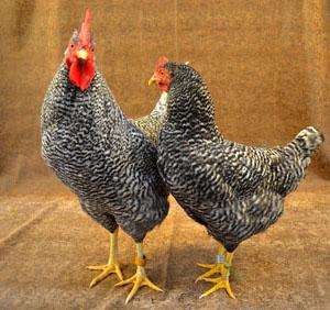 Holland Chicken