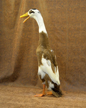 Runner or Indian Runner Duck