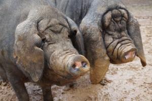 Meishan Pig