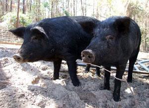 Mulefoot Hog
