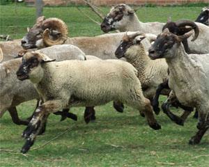 Hog Island Sheep