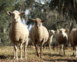 Florida Cracker Sheep