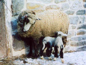 Romeldale/CVM Sheep