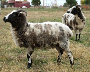 Jacob-American Sheep