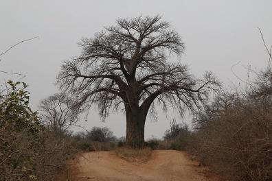 baobab at mana pools