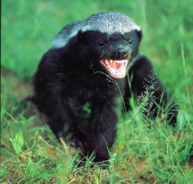 honey badger spirit animal