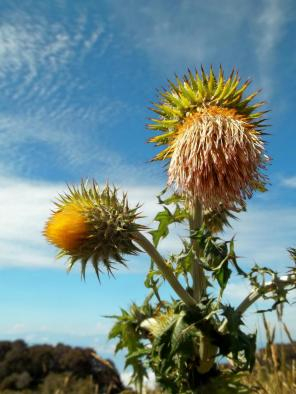 Yellow thistles on top of the volcano Irazu in Costa Rica. From 2012.