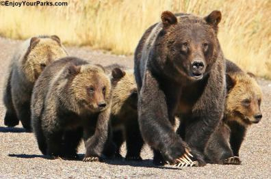 The famous #399 mom and cubs