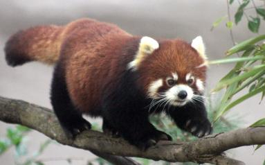 A red panda at the San Diego Zoo