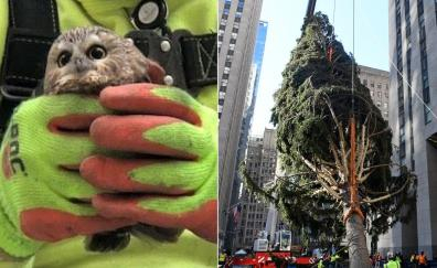 An unexpected find in the Rockefeller Tree