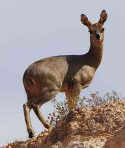 Rarely seen tiny antelope of the African heights.